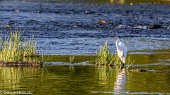 Grande aigrette (bbarsalo) Tags: animalier grandeaigrette oiseaux saintemartine quebec canada