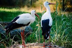 Storks (Alexander Kurz) Tags: fujinon fuji fujixh1 fujifilm fujifilmxh1 xh1 xf kronbergimtaunus hessen deutschland xf50140mmf28rlmoiswr