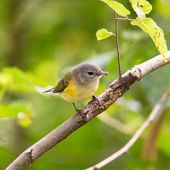 American Redstart (Philipp Hullmann) Tags: newyork bird centralpark manhattan vogel theramble americanredstart schnäpperwaldsänger woodwarbler newworldwarbler waldsänger