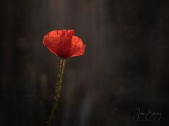 Holding on (Jamarem) Tags: poppy one backlight backlit texture grunge vignette horizontal