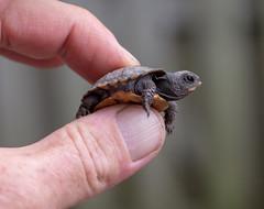 Eastern Box Tortoise Hatchling (shuddabrudda) Tags: tortoise turtle hatchling easternboxtortoise