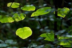 IMG_0024 American Basswood (oldimageshoppe) Tags: leaves americanbasswood backlight overcastsky morninglight summer