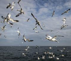 2019-08-21 YCN boat trip 2-506.jpg (Sueyork58) Tags: gannet bempton wildlife ycn feeding seabirds diving