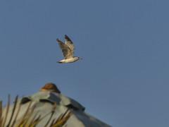 Hossegor-2019 (Rolumix-) Tags: france landes hossegor oiseau goéland panasonic lumix fz300