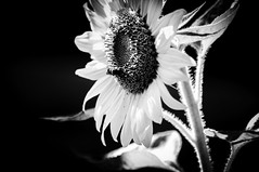 Sunflower- Monochrome (Dad from Hell) Tags: 2019 blackwhite canada canadarocks dadfromhell flowersplants gary garypaakkonen paakkonen photography summer bw bee botany d300s floral flower insect landscape monochrome nature nikon ontario sunflower wildlife kitchener