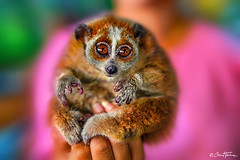 Slow loris - Thai Animal - Ben Heine Photography 2019 (Ben Heine) Tags: hug hmong asia cute dress fashion young thai background play ceremony female girl child tribal sisters year karen ethnic temple white kayan asian face hill smile art laugh little people person monument vintage petite costume children new culture girls minority colorful pai beautiful travel nymphet friends portrait outdoor stairs thailand traditional happy doisuthep animal monkey primate slow loris slowloris singe