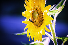 Sunflower (Dad from Hell) Tags: 2019 canada canadarocks dadfromhell flowersplants gary garypaakkonen paakkonen photography summer bee botany d300s floral flower insect landscape nature nikon ontario sunflower wildlife kitchener
