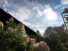 Late Summer Blooming (halleluja2014) Tags: hit garden upwards light sweden dalarna falun syrenhortensia sensommar latesummer flowers hydrangea