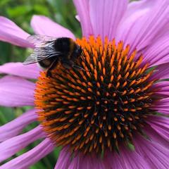 Bumblebee on a purple coneflower (halleluja2014) Tags: dalarna sweden falun coneflower purpleconeflower rödsolhatt bombus garden trädgård mariagården bumblebee humla