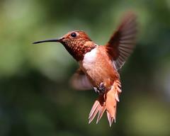 Allen's Hummingbird (Selasphorus sasin) (J.Thomas.Barnes) Tags: