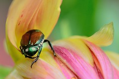 (Paul B. (Halifax)) Tags: nikon d7000 afsvrmicronikkor105mmf28gifed marco halifaxpublicgardens novascotia canada beetle flower colors