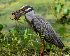 Mud Bug - It's What's For Dinner (BFS Man) Tags: brazosbend nikon texas bird crawfish heron statepark yellowcrownednightheron