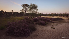 Follow the bushes (bdg-photography) Tags: heath habitat sand heather nature outside naturephotography natural sunset mood happy peace lights light sun beautiful