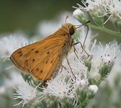 . . . like butterflies and flowers (Cheryl Dunlop Molin) Tags: skipper fieryskipper macromondays goestogetherlike butterfly skipperonflowers insect butterfliesofindiana butterfliesofthemidwest