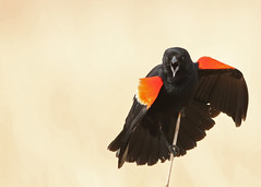 Male Red Winged Blackbird...#22 (Guy Lichter Photography - 5.1M views Thank you) Tags: canon 5d3 canada manitoba oakhammockmarsh wildlife animal animals bird birds blackbird redwingedblackbird male