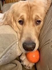 "Throw the Ball? 34/52 (bztraining) Tags: toby golden retriever bzdogs bztraining ""52weeksfordogs"" dogchal"