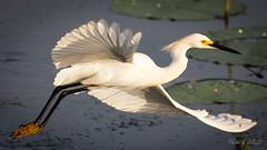 Snowy Egret, Anahuac NWR (Selkii's Photos) Tags: anahuacnwr anahuacnationalwildliferefuge birds chamberscounty egret egrettathula familyardeidae flight orderciconiiformes snowyegret texas