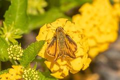 FIERY SKIPPER (nsxbirder) Tags: fieryskipper butterflies ohio frenchpark hamiltoncounty amberleyvillage cincinnati butterfly