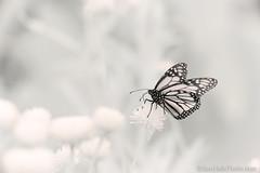 720nm IR monarch (Brian M Hale) Tags: 720nm ir infrared kolari vision kolarivision monarch butterfly nature outside outdoors tower hill botanic botanical garden boylston ma mass massachusetts brian hale brianhalephoto