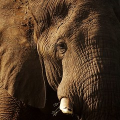 (patricejannet) Tags: portrait elephant animal reserve safari kruger afrique sauvage africa park wild brown male eye look southafrica mammal close skin profile ivory adventure species parc wildness old wrinkles