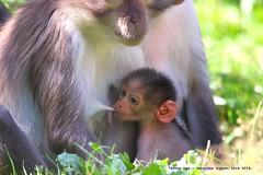 Baby White Napped Mangabey..... (law_keven) Tags: whitenappedmangabey animals wildlife wildlifephotography animalphotography zoo londonzoo monkey monkeys primate primates mammals london england