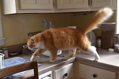 Jimmy on Kitchen Patrol (rootcrop54) Tags: jimmy orange ginger tabby male cat fluffy longhaired kitchen counter kp kitchenpatrol neko macska kedi 猫 kočka kissa γάτα köttur kucing gatto 고양이 kaķis katė katt katze katzen kot кошка mačka gatos kotek мачка maček kitteh chat ネコ explore
