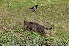 Invisible friends (srkirad) Tags: animal animals cat magpie passing grass outside nature foliage travel niškabanja serbia srbija
