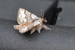Pale Eggar ... Trichiura cratuegi (AndyorDij) Tags: paleeggar trichiuracratuegi lasiocampidae lepidoptera nationalmothweek insect moth andrewdejardin england empingham empinghammoths rutland uk unitedkingdom