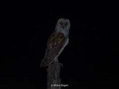 barn owl (Brian Eagar Nature Photography) Tags: barnowl owl night nocturnal desert lakepowell utah utahbird utahwildlife utahnature olympus getolympus