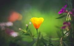 California Poppy (Dhina A) Tags: sony a7rii ilce7rm2 a7r2 a7r kaleinar mc 100mm f28 kaleinar100mmf28 5n m42 nikonf russian ussr soviet 6blades manualfocus california poppy summer flower bokeh