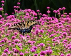 Playing in Pink (TPorter2006) Tags: tporter2006 texas august butterfly garden arboretum dallas 2019 photowalk piink flower amaranth blooms explored