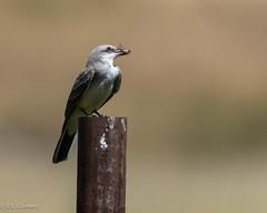 Western Kingbird (Tyrannus verticalis) (Chub G's M&D) Tags: avian kingbird aves westernkingbird birds utah birding tyrannusverticalis potterslane birdphotography heber