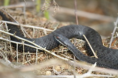 Vipera Berus. (ChristianMoss) Tags: vipera berus snake adder black reptile melanistic