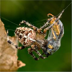 Kreuzspinne Macro Mondays (robert.pechmann) Tags: macromondays goes together like spider web macro makro