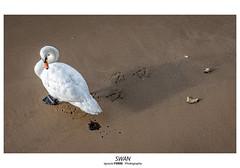 Swan (Ignacio Ferre) Tags: london londres swan muteswan cisne cisneblanco cisnemudo cisnevulgar lumix panasonic animal ave bird pájaro granbretaña inglaterra cygnus cygnusolor waterfowl ngc
