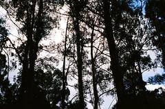 Tall trees (Matthew Paul Argall) Tags: beirettevsn 35mmfilm ektar100 kodakektar100 100isofilm tree trees plant plants