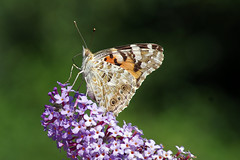 IMGP4981c Painted Lady, Lackford Lakes, August 2019 (bobchappell55) Tags: lackfordlakes suffolk vanessacardui butterfly insect nature paintedlady wild wildlife
