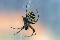 • (NأT) Tags: sony alpha7iii ilce7m3 proxy macro details araignée araignées arachnide spider colors light animal insecte day bokeh explore inexplore discover toile fil nature wild life