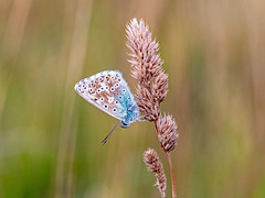 Common Blue Butterfly (niloc's pic's) Tags: commonblue polyommatusicarus butterfly lepidoptera insect panasonic lumix dcg9 belletout southdowns eastsussex