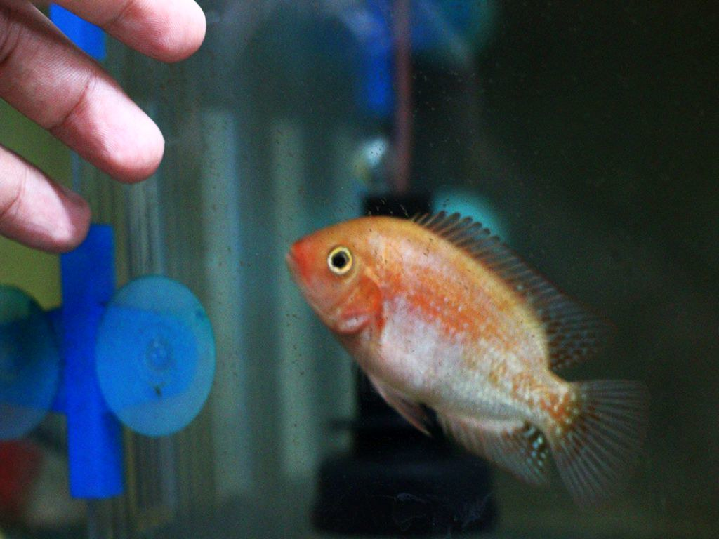 The World's most recently posted photos of flowerhorn and