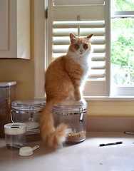 Jimmy sitting on top of the cat-food cannister (rootcrop54) Tags: jimmy orange ginger tabby male cat fluffy longhaired kitchen counter neko macska kedi 猫 kočka kissa γάτα köttur kucing gatto 고양이 kaķis katė katt katze katzen kot кошка mačka gatos kotek мачка maček kitteh chat ネコ