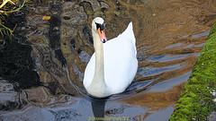 Swan on the River Avon next to Christchurch Priory in November 2018, Christchurch, Dorset. England. (samurai2565) Tags: christchurch christchurchpriory riverstour wickvillage thequomps christchurchquay miraculousbeam twynham hengistburyhead riveravon captainsclubhotelandspa wicklane wickferry mudeford quay therun tutton'swell stanpitmarsh christcurch dorset england rivermude allsaintschurch stanpit placemill saxonsquare