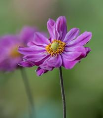 Long Stem,s. (Omygodtom) Tags: japanese anemone flower flora flickriver outside usgs natural wildflower stem colours macro bokeh dof