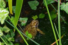 1590-06L (Lozarithm) Tags: oldforge ponds amphibians macro pentax prime k5 100f28 dfamacro100mmf28wr webs