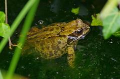1590-08L (Lozarithm) Tags: oldforge ponds toadsfrogs amphibians macro k50 zoom sigma 70300 sigmaaf70300mmf456apodgmacro
