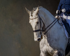 Kintore Romany (danniearmstrong) Tags: gray horse equine dressage sport white texture