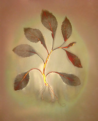 Lumen Print 1900 Botanical by John Fobes: copyrighted all rights reserved (john_fobes) Tags: lumen lumenart lumenprint lumenprinting llumenprints photogram plant botanical johnfobes copyrightedallrightsreserved chicagoalbumenworkscentennialpop