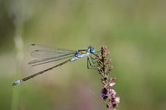 Scarce Emerald Damselfly Lestes Dryas Roydon NWT Norfolk (2) (JohnMannPhoto) Tags: scarce emerald damselfly lestes dryas roydon nwt norfolk