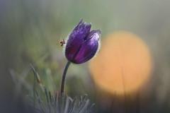 Сон-трава *  Sleep grass (marussia1205) Tags: сон трава закат букашка солнце вечер sleep grass sunset insect sun veche