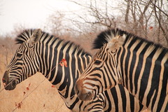 Zebra (marcomarino) Tags: zebra animal krugernationalpark kruger nature park black white